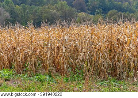 Corn Maize Field Ready For Harvest Agriculture
