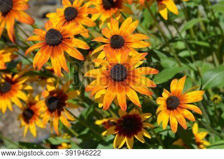 Tetra Gloriosa Daisy Flowers - Latin Name - Rudbeckia Hirta Tetra Gloriosa