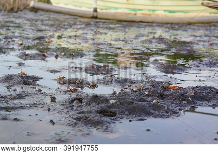 Fiddler Crab On Watery Sand Or Mud