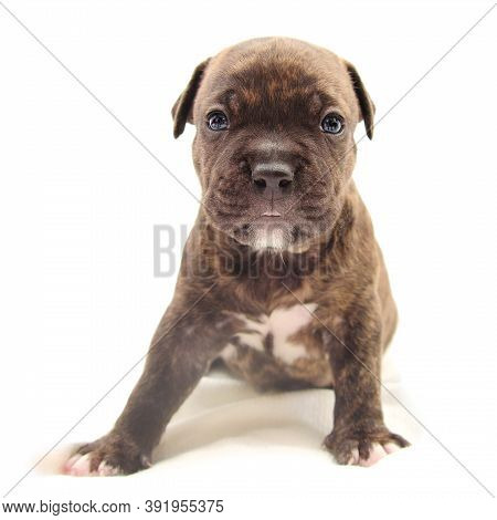 Isolated Staffordshire Terrier One-month Puppy Dog. Isolated Young Puppy Dog Sitting On White Blanke