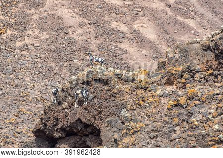Typical Fuerteventura Goats On The Fuerteventura Nature Trail Gr 131 From Corralejo To Morro Jable I