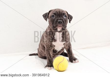 Staffordshire Terrier Two-month Puppy Dog With Tennis Ball. Young Puppy Dog Sitting On White Blanket