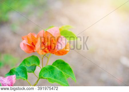 Bougainvillea Tropical Flower With Green Leaf And Sunlight On Blurred Background, Macro