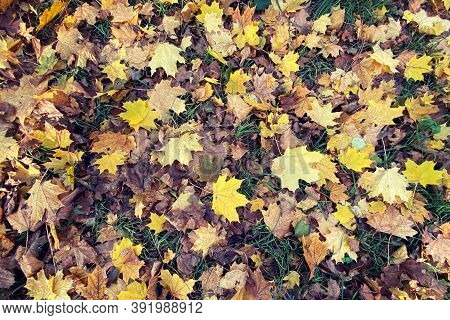 Natural Background With Autumn Colorful Maple, Leaves