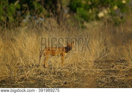 The Dhole Is A Coyote That Lives In Asia, Especially In The South And East. Invite Not The Same As A