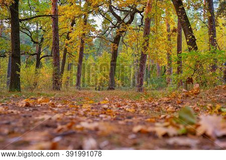 Beautiful Autumn Oak Trees In The Forest With Golden Leaves