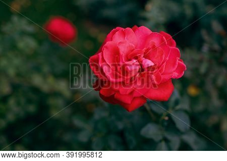 Red Flower Against The Background Of A Green Lawn, A Scarlet Rose With Beautiful Petals. Free Space