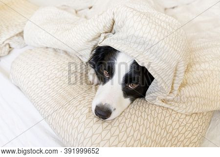 Funny Portrait Of Cute Smiling Puppy Dog Border Collie Lay On Pillow Blanket In Bed. New Lovely Memb