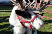 Christmas reindeer with antlers and harness at a petting zoo in rural countryside. poster