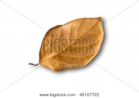 Texture Of Brown Dry Leaf On White