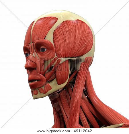 Human Face Anatomy isolated on white background. 3D render poster