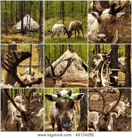 Reindeers In The Forest In Mongolia