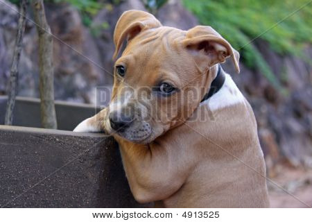 Staffy Puppy caught in the flower pot in Buderim QLD Australia on 26 March 2009 poster