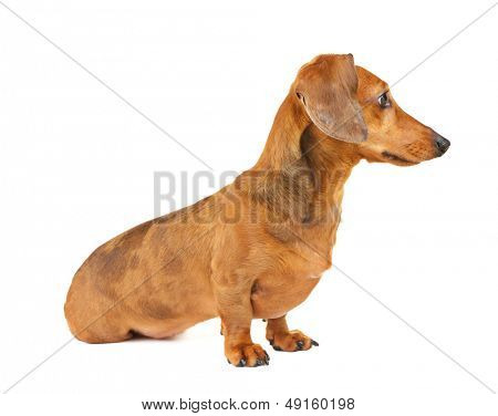 Dachshund dog side view