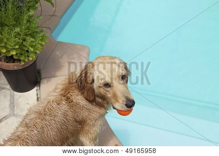 Mixed breed dog holding ball in mouth at poolside