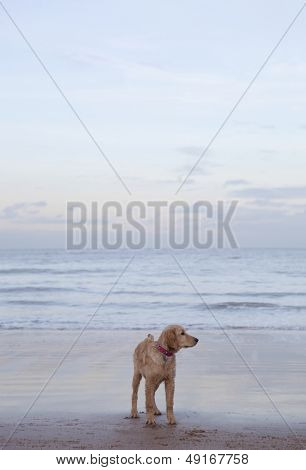 Full length of mixed breed dog on beach in Herne Bay; Kent