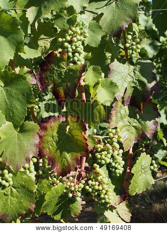 Gamay Grape Variety In August, Berries Are Still Half Size And Green