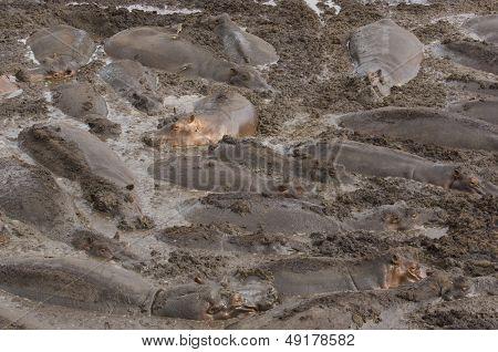 Large herd of hippopotami (Hippopotamus amphibius) wallowing in mud