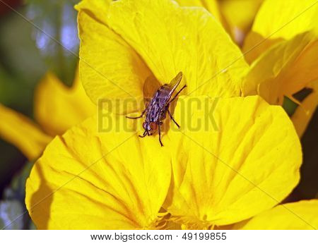 Fly on a yellow, natural flower in France