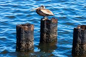 pelican on a rusty pile against water poster