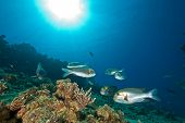 bigeye emperor coral and ocean taken in the red sea. poster