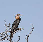 An African Darter (Anhinga rufa) at Bao Blong Mangrove Forest near Tendaba in The Gambia November 2008. Also sometimes known as a Snake Bird. poster
