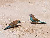 Pair of Red-cheeked Cordon Bleu feeding on grain in The Gambia West Africa. Shows distinctive spot on male bird. poster