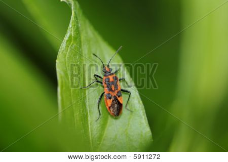 Blood Bug, Corizus Hyoscyami