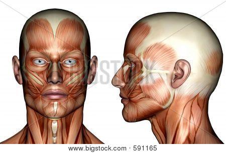 Gesichtsmuskeln