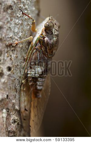 Macro shot of cicada on a tree's trunk. Madagascar poster