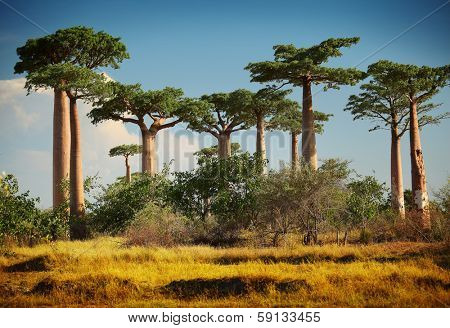 Baobab trees on a dry land at sunny day. Madagascar