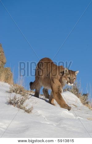 Mountain Lion looking over valley