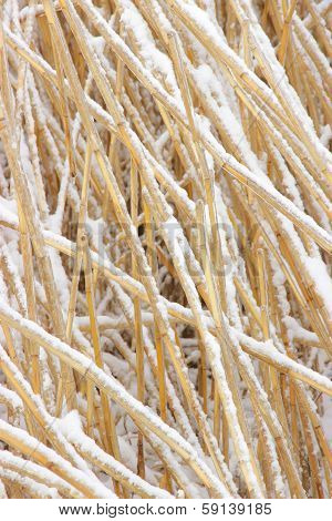 Snowcovered Reed Texture
