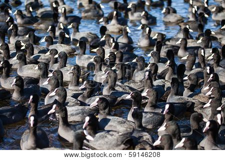 flock of coots ( fulica atra ) on frozen lake poster