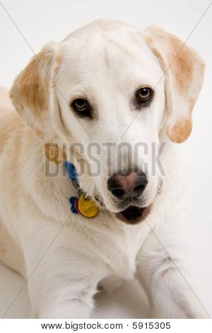 Yellow Lab