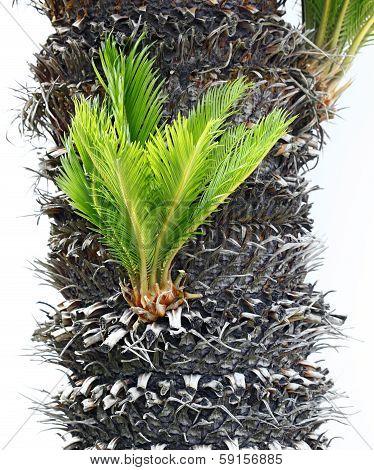 Bulb Growing Near The Trunk Of A Cycas Revoluta