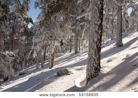 trees in the snow in the area in navacerrada madrid spain,Europa,