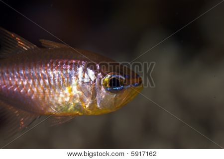 Orange-lined Cardinalfish