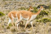 Vicunas in the peruvian Andes at Arequipa Peru poster
