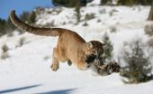 Mountain Lion Jumping in snow covered field poster