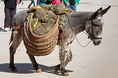 Donkey carrying a sunflower in chinchon near madrid poster