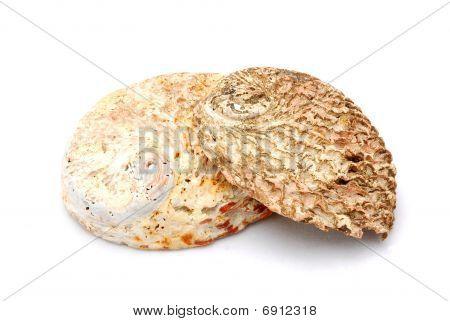 Abalone sea shells