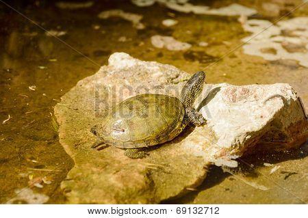 European Pond Turtle, Emys Orbicularis