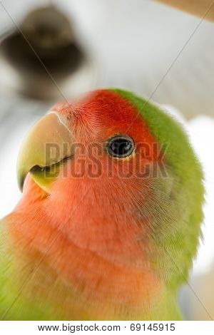 Agapornis Parrot