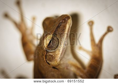 A close up of common bush frog holding on the white wall poster