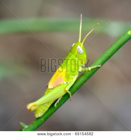 green grasshopper in natural habitat in summer