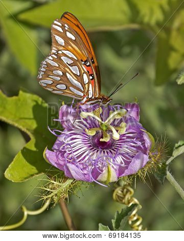 A Gulf Fritillary butterfly (Agraulis vanillae) lapping up Passion Flower (passiflora) nectar.
