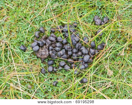 Black Color Sheep Excrement