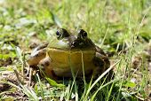 Head-on, eye-level portrait of a bullfrog in the grass. poster