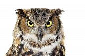 Close up portrait of Great horned owl Bubo virginianus looking at camera isolated on white poster